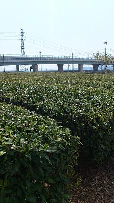 静岡の茶畑?
